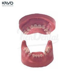 Tipodonto-de-Cirugía-KaVo-TienDental-material-estudiantes